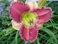 Daylily (Hemerocallis 'George Jets On') uploaded by hemlady Day Lilies, Photo Location, Small Flowers, Jets, Garden Plants, Bulbs, Orchids, Bloom, Lily