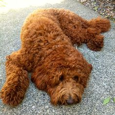 Shedless in Seattle Labradoodles | Family Breeder of Australian and Multigenerational Labradoodle Puppies