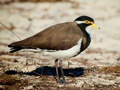 Banded Lapwing (Vanellus tricolor) byHelenabella.