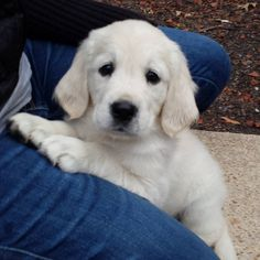 This is my baby picture. I am almost 1 year old now. I grow so fast. Ma can't even pick me up and carry me around anymore. Pa still like to pick me up sometimes.    #throwbackthursday    #millie  #englishcreamgoldenretriever   #goldenretrieverofinstagram   #goldenretriever   #dog  #dogs  #dogofday   #dogofinstagram   #dogofig  #dogoftheday   #family  #puppy  #puppydog   #love  #cute