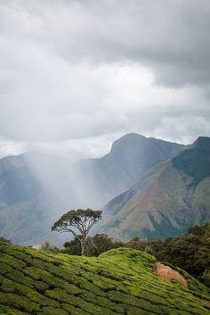 Tea plantation - Munnar, Kerala, India (by india_trippers)