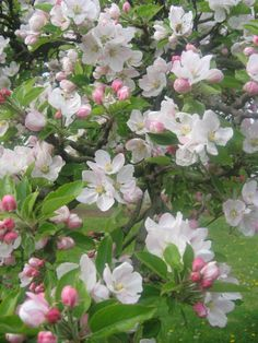 the delicate fragrance of apple blossom. It's a wonderful site of spring and a good apple season!