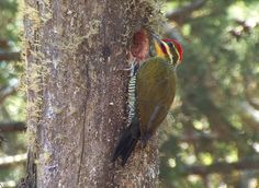 Yellow-browed Woodpecker Piculus aurulentus - Google Search