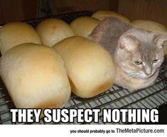 Loaf Kitten