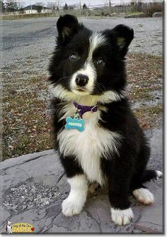 Jasper the Border Collie is Dog of the Day for November 2012 Dog Breeds List, Best Dog Breeds, Cute Puppies, Cute Dogs, Dogs And Puppies, Doggies, Border Collie Puppies, Collie Dog, Mundo Animal