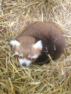Posted on July 29, 2013 in Kolmarden Zoo, Red Panda | Permalink