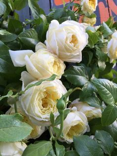 Une #rose solidaire pour Amnesty International France création #Delbard http://www.pariscotejardin.fr/2015/06/une-rose-solidaire-pour-amnesty-international/