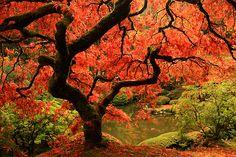   ♕   Gnarled Beauty - Japanese Garden in Portland   by © PhotoScenics