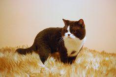 Air Force Cat*CZ - chovatelská stanice britských koček