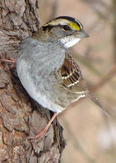 White-throated Sparrow by Ann Bridges