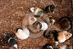 Friendly beautiful colored guinea pigs, fantastic pets for children, like to live in a herd, sawdust mulch, hay, nice