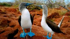 "Hugo (Alessandro) ⚓️ on Twitter: ""You like blue! Yes and you too ? #photos #photography #birds #Blue #KatanaHugo… "" Bird Wallpaper, Animal Wallpaper, Nature Wallpaper, Alcatraz Patiazul, Photoshop, Unique Animals, Cute Animals, Baby Animals, Beautiful Birds"
