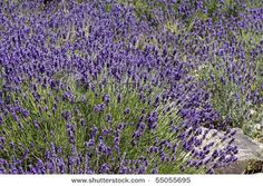 pretty, smells nice, and i don't have to do anything -- lavender is the perfect plant for my house.