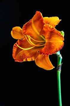 Orange Lily #orange #lily #flower #floral Fine Art Prints from $20 click here > http://fineartamerica.com/profiles/randy-walton.html