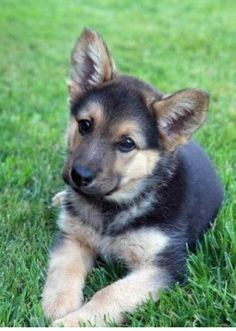 German shepherd pup - this looks like my old dog Beauty
