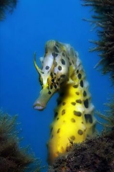 seahorse More