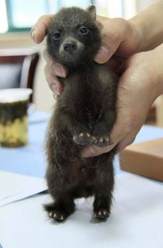 "baby raccoon dog joins Shanghai police ""Mommy can we please have a baby bear?""Well, since you asked so nicely.""""Mommy can we please have a baby bear?""Well, since you asked so nicely. Cute Baby Animals, Animals And Pets, Funny Animals, Strange Animals, Wild Animals, Farm Animals, Sean Parker, Baby Raccoon, Yorky"