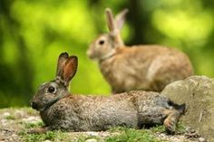 These rabbits were seen in Woodland Park, where many of the former pets now run wild.
