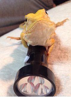 Detective Bearded Dragon.