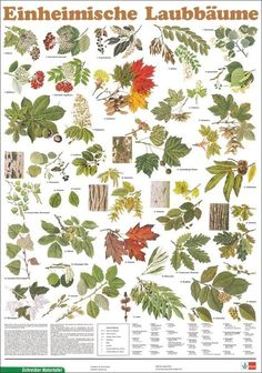 Einheimische Laubbäume Leaf Identification, Artist Problems, Learning For Life, Forest Plants, Animal Tracks, Forest School, Outdoor Survival, Science And Nature, Trees To Plant