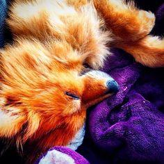 Sleepy Basil ❤️ #basilthepom #pomeranian #puppycuddles #pom #basil #dog #sleepydog #reddog #pomsofinstagram #petsofinstagram #pets #doglover #dogs_of_instagram #animals #animallovers # #foxydog # #pupper #woof #animalsaddict #doggo #dogoftheday #dog_features #doggy #dogslife #sleepypuppy Puppy Cuddles, Sleepy Dogs, Red Dog, Pomeranians, Basil, Cute Animals, Pets, Instagram Posts, Pretty Animals