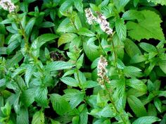 How To Preserve Mint Leaves ~ So many ways to try!