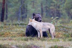 Wild Nature, Black Bear, Wildlife, Animals, Finland, Friendship, Woods, Animales, American Black Bear