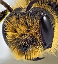 super magnified bee.