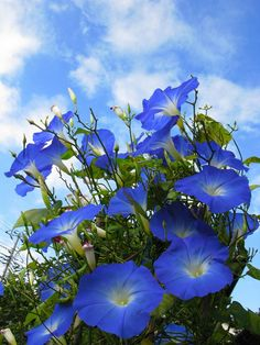 Japanese morning glory, Ipomoea nil… I love this flower! Birth Flowers, Love Flowers, Purple Flowers, Wild Flowers, Beautiful Flowers, Blue Morning Glory, Morning Glory Flowers, Volubilis, Japanese Flowers