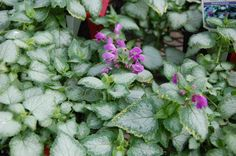 Spotted Dead Nettle - Purple Dragon... A lovely shade loving groundcover.
