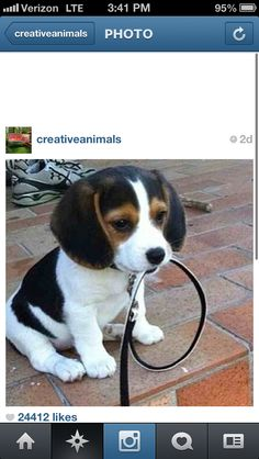 Good Beagle Chubby Adorable Dog - 0750d4afe363d15d79925ef6b1d2a07a--baby-beagle-beagle-puppies  Picture_718589  .jpg
