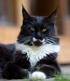 Maine Coon, Black Solid & White (n 09). Summerplace Rising Star http://www.mainecoonguide.com/ Races De Chats, Norwegian Forest Cat, Beautiful Cats, Animals Beautiful, Maine Coon Cats, Domestic Cat, All About Cats, Here Kitty Kitty, Cat Breeds