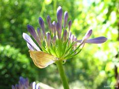 ¡BUENOS DíAS! LA DE COSAS QUE PASAN MIENTRAS DUERMES... Una de las maravillas del huerto y del jardín es que mientras dormimos (literalmente o liados en otros mundos) allí la vida sigue su paso tranquilo y a veces espectacular. Por ejemplo hoy se han abierto las flores de agapanto, tambien conocido como lirio africano, flor del amor o, formalmente, Agapanthus africanus... https://www.facebook.com/huertos.org/photos/a.375508502500296.103441.338929032824910/975338499183957/?l=829c30f9f8