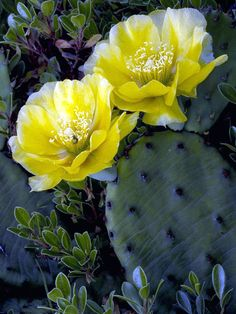 Opuntia humifusa Common Prickly Pear Easy elegant classic seashore plants multiplies readily into large patches in sand and full sun. Don't over water and keep away from patios and walkways due to spiny bristles
