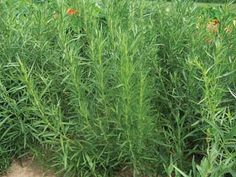 Image result for russian tarragon plant