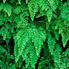 Maidenhair fern (Adiantum) makes cascades of foliage.