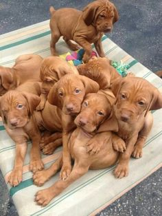 8 vizsla puppies. They are gorgeous with their wrinkly foreheads. I love puppies at this age, they're good fun, there's alot of work but it's worth, they chew up everything at this stage in life
