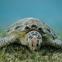 Photo @lucianocandisani (Luciano Candisani) // A green turtle eating seagrass in Abrolhos Archipelago, Southern Bahia coast, Brazil. I took this picture while on assignment for the International League of Conservation Photographers. Our goal was to produce powerful imagery to support a Conservation International Campaign to increase the protected areas around these important islands with unique reefs. I've worked in this project with photographers @paulnicklen and @cristinamittermeier…