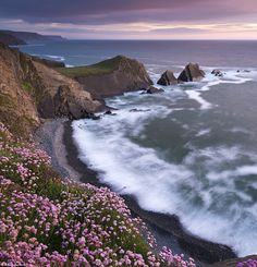Breathtaking: The National Trust  Thrift flowering on the cliff tops above Hartland Quay at sunset, North Devon, in June 2013