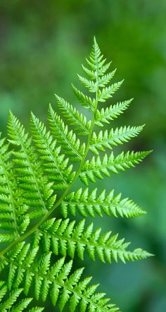 55 Ideas Wall Paper Green Ferns For 2019 Flower Wallpaper, Nature Wallpaper, Wallpaper Backgrounds, Floral Wallpapers, Fern Plant, Plant Leaves, Photographie Macro Nature, Flower Girl Pictures, Fern Tattoo