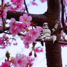 【_inabird】さんのInstagramをピンしています。 《おーい‼︎こっちこっち〜‼︎ #桜 #河津桜 #春 #ピンク #久々の #ストームトルーパー #スターウォーズ  #starwars #stormtrooper #cherryblossom #pinkflowers #フィギュア #フィギュアーツ #遊び #意外といい感じ #日本の風景 #カッコイイ #kawazuzakura #綺麗 #美しい花 #さくら》