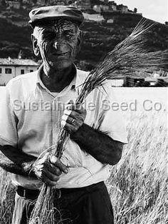 Emmer Wheat - Heirloom Seeds: Sustainable Seed Company