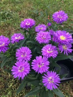 Aster violet...nom ?? Lilac, Purple, Lily Of The Valley, Petunias, Daffodils, Dahlia, Beautiful Flowers, Daisy, Aster