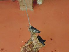 hummingbirds were born at my door. The first almost ready to leave - Pic IV