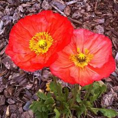 Vibrant poppies! Photo by @taunaleigh #poppies #spring