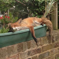 Fox in Window Box. Urban Wildlife. Richard Fry (@RichFryUK) | Twitter