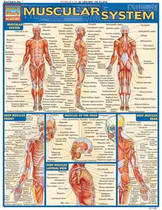 Muscular System. #Psychological #Disorders #hawaiirehab www.hawaiiislandrecovery.com