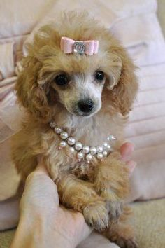 Teacup Poodle Puppy Cassie's Closet ...........click here to find out more http://googydog.com