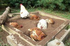 dirt bathing chickens