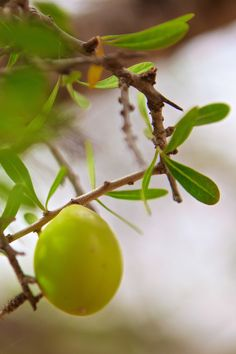 Ripe argan fruit hangs on the tree right before the harvest!